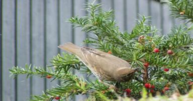 tuintips-kraaij-december-rode-bessen-met-hulst-en-vogels-384-x-202