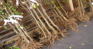 tuintips-kraaij-bomen-met-blote-wortel-verplaatsen-384-x-202