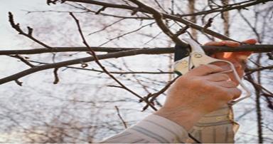 tuintips-kraaij-snoeien-fruitboom-384-x-202
