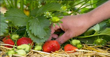 tuintips-kraaij-aardbeien-oogsten-in-juni-384-x-202