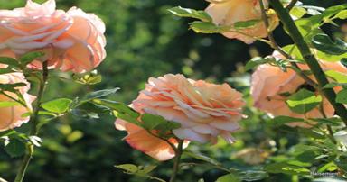 tuintips-kraaij-bloeiende-rozen-juni-384-x-202