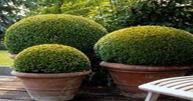 tuintips-kraaij-buxus-in-pot-september-384-x-202