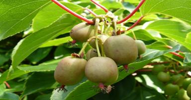 tuintips-kraaij-kiwiboom-aanplanten-september-384-x-202