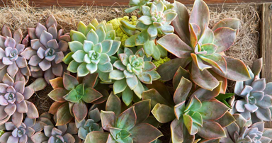tuintips-kraaij-vetplanten-augustus-384-x-202